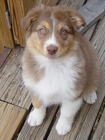 Royal the Australian Shepherd as a Puppy