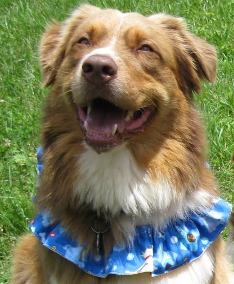 Royal the Australian Shepherd wearing a Dog Bandana