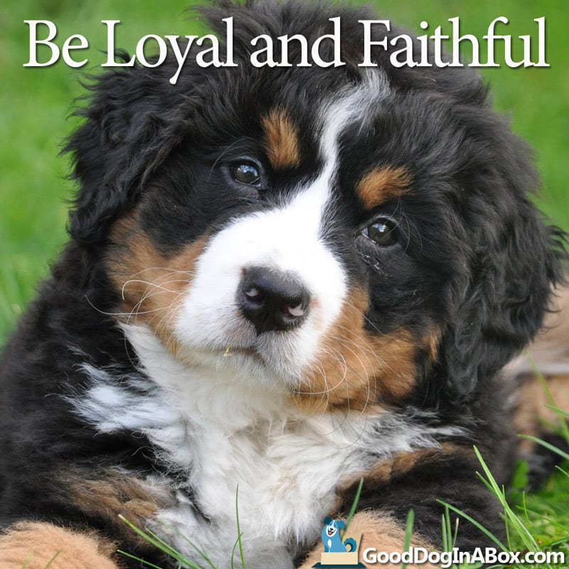 Cute Puppy Pictures Bernese Mountain Dog