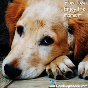 Doggy Pic Golden Retriever